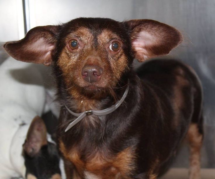 RESCUED>NAME: Bixby ANIMAL ID: 35769679BREED: Dachshund/chi mix SEX: male(altered) EST. AGE: 6 yr Est Weight: 19 lbs Health: Heartworm neg Temperament: dog friendly, people friendly ADDITIONAL INFO:RESCUE PULL FEE: $35 Intake date: 6/27 Available: Now