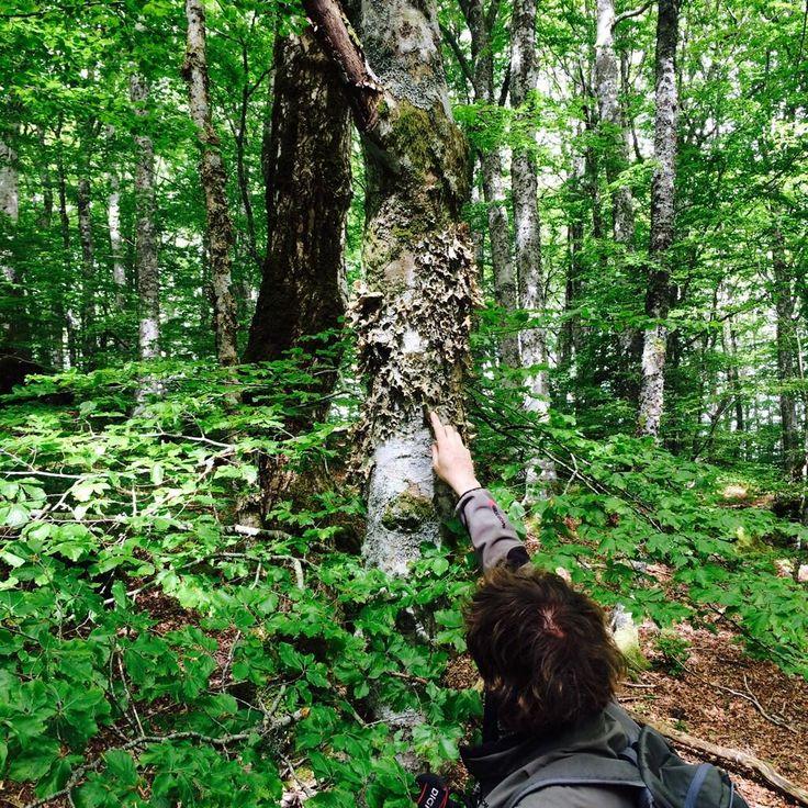 Questo #lichene,la polmonaria, è un indicatore biologico che ci dice che l'aria del parco è ottima! #welikecasentino pic.twitter.com/O8R0Kt98Tb