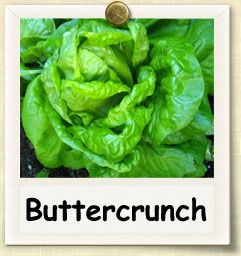 How to Grow Buttercrunch Lettuce   Guide to Growing Buttercrunch Lettuce