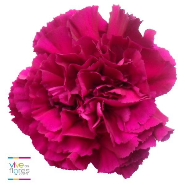 Colores vibrantes que fascinan. Vivelasflores.com quiere compartir contigo el clavel rosado oscuro.