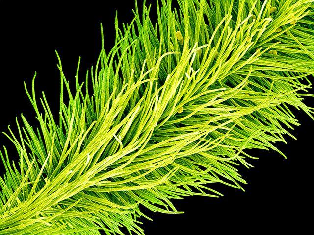 flower micrographs: Pollen grains (ovals) on the stigma of a garden pea flower (Pisum sativum)