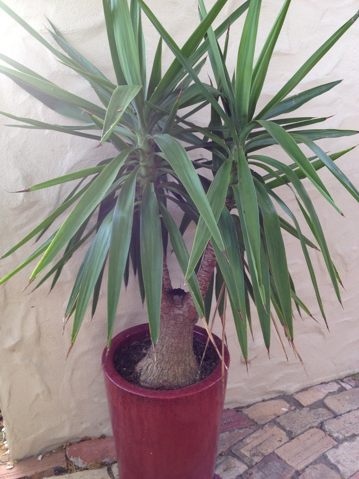 Yucca, to be planted between the two windows as the feature. Alternatively, you could plant a Cordyline.