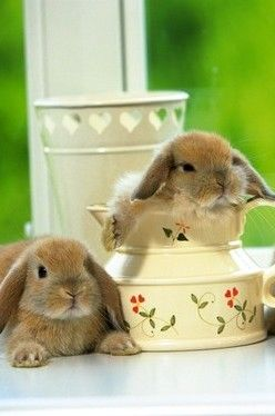 Cute Pet Bunnies