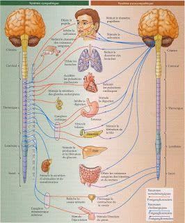 HOTASHTANGA.COM: A szimpatikus és paraszimpatikus idegrendszer