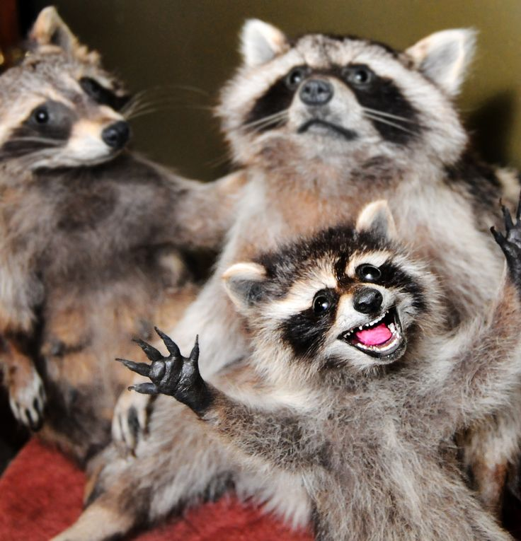 Taxidermy raccoons prepared in an anthropomorphic style