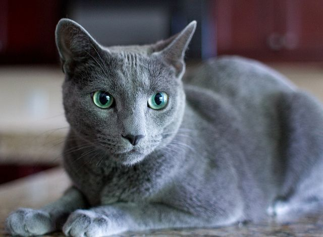 Russian Blue Cat Breeders Montreal
