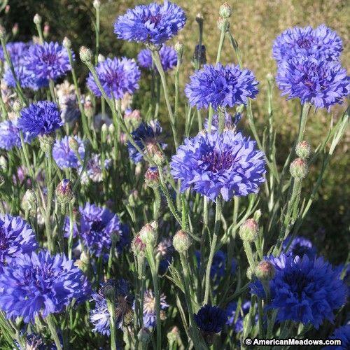 72 best north carolina wildflowers images on pinterest