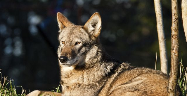 End Lethal Control of Red Wolves in North Carolina.  Please sign this petition by clicking on the photo.  Thank you, EM