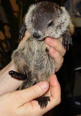 adorable baby groundhog