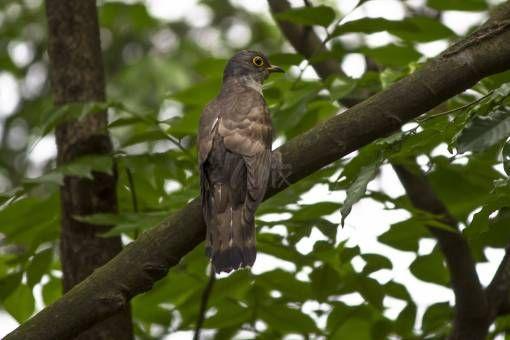 Immature Common Hawk Cuckoo by Morbid Mahmud on 71pix.com