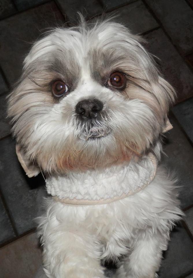 Adopt Kiki Pending On Shih Tzu Shih Tzu Mix Rescue Dogs