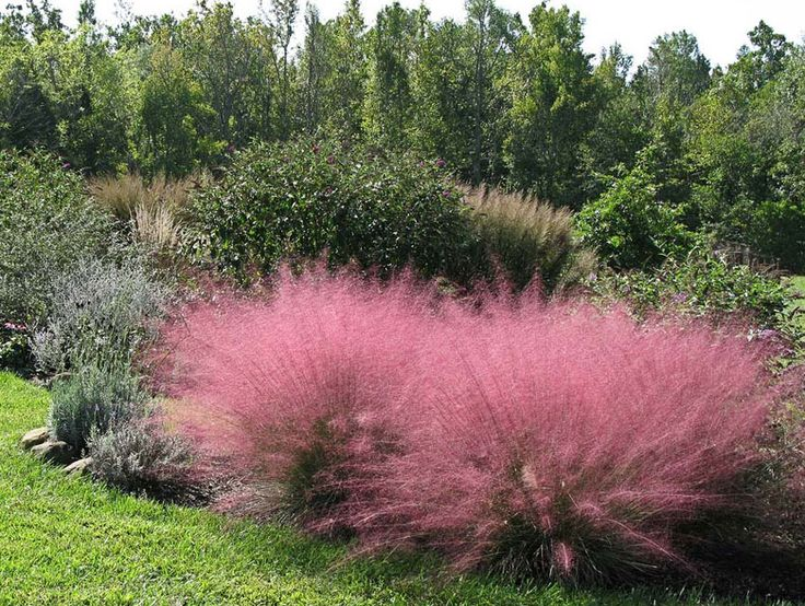"Muhlenbergia cappillaris ""Pink Muhly Grass"""