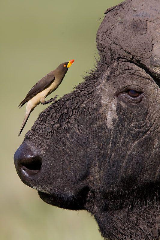Yellow Billed Oxpecker jumping onto African Buffalo's face, Masai Mara, Kenya
