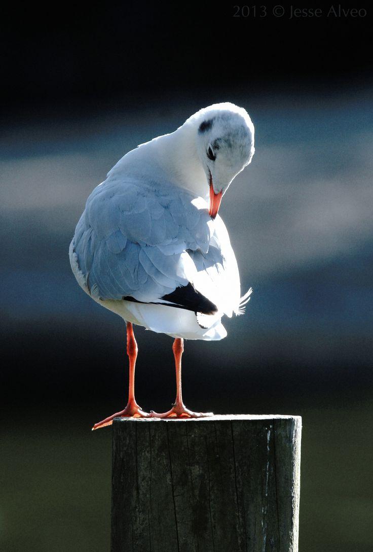 "birdsonly: "" Black-headed Gull (winter plumage) ~ Lachmöwe (Schlichtkleid) ~ Chroicocephalus ridibundus 2013 © Jesse Alveo """