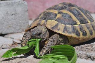 animali e natura : tartarughe - le più diffuse nelle nostre case
