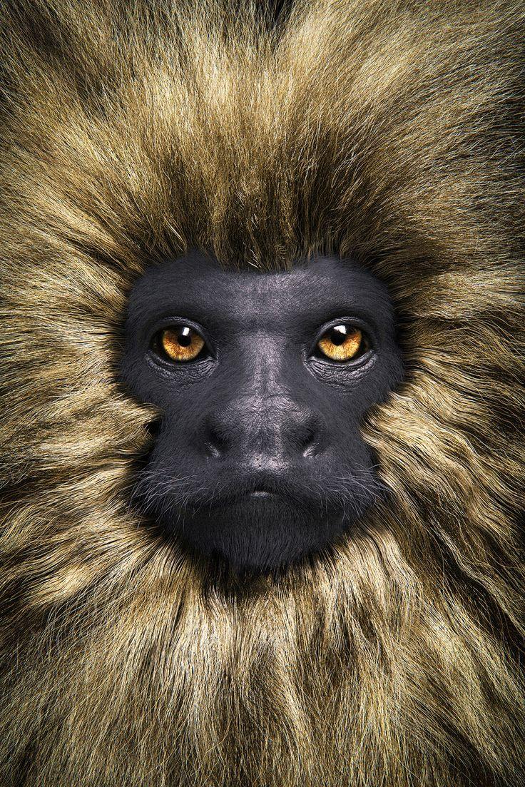 The Golden Lion Tamarin | Primate Series, Andre Holzmeister on ArtStation at https://www.artstation.com/artwork/qnOzR