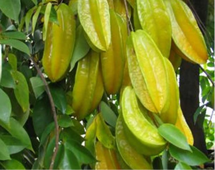 Dominican fruit Carambola
