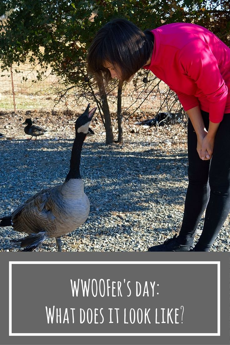 What does a day look like when you participate in WWOOF volunteering program in the USA? I share my experiences!