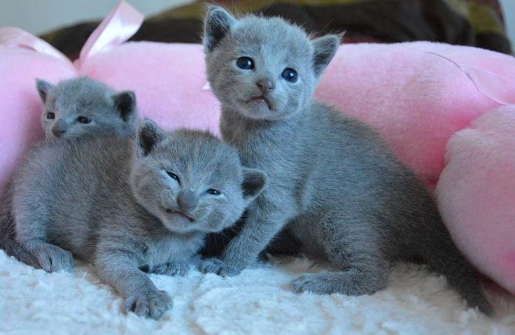 A grinning Russian blue kitten.