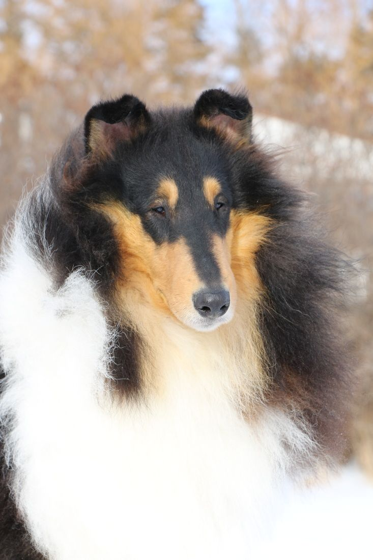 Rough Collies For Sale Texas - Our boys tallywood collies