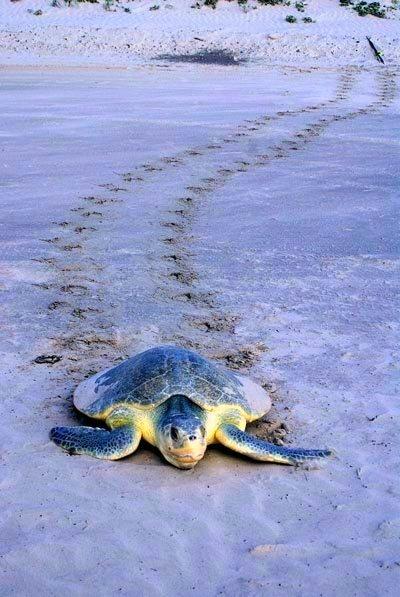 sea turtle TX gulf coast
