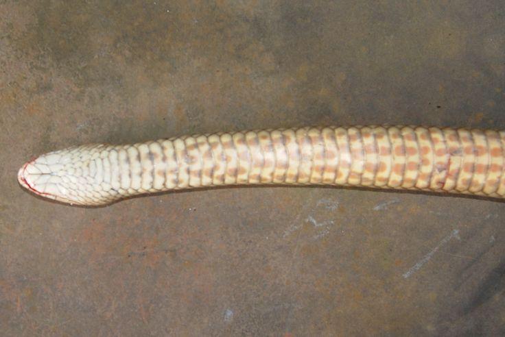 Eastern Brown Snake Neck Profile Showing Spots Or Freckles