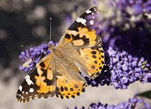 The Butterfly and Hummingbird Feeder You'll Never Have to Refill  -  	• Attracts butterflies like no other plant  	• Drought tolerant  	• Long blooming period  	 	Your morning coffee time will never be the same!  	 	Bright, fragrant blooms draw in hoards of butterflies and hummingbirds.  	 	Plant the butterfly bush...