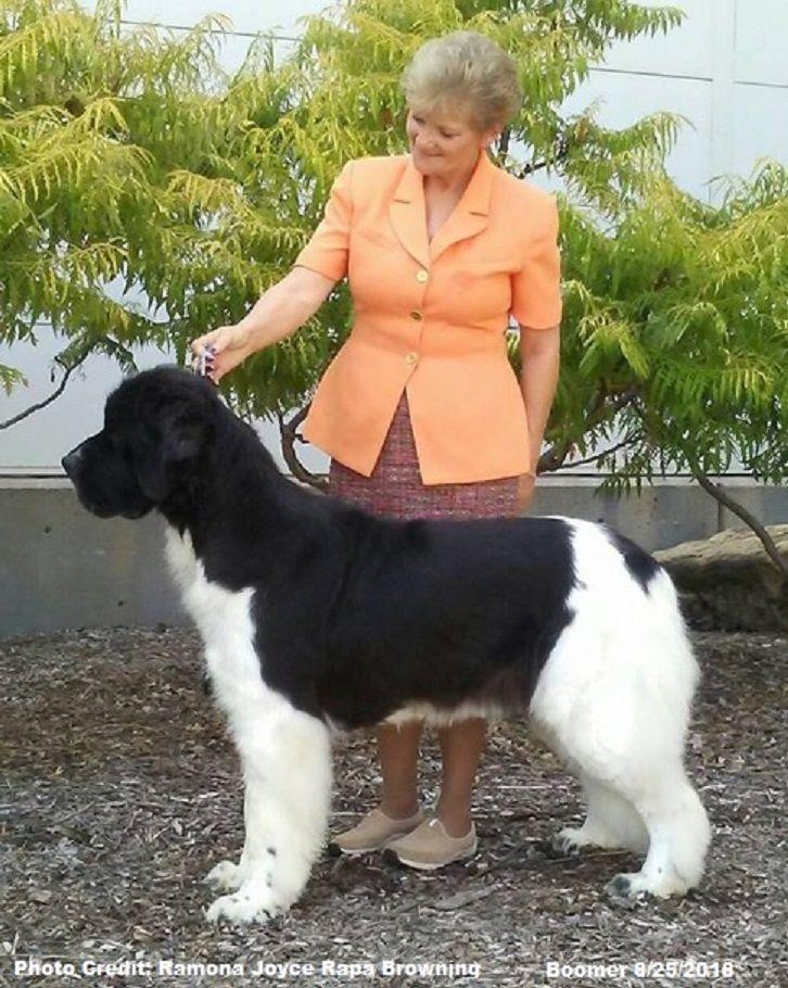 Windancer Newfoundland S Boomer Newfoundland Dog Newfoundland Dogs