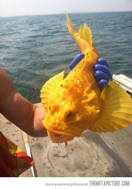 The very rare Atlantic Sea Raven….    If its do rare... Why are you holding it out of water?