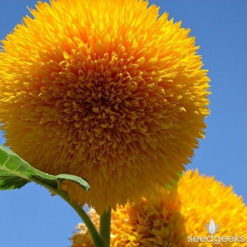 Teddy Bear Sunflower - (Helianthus annuus) Annual. These adorable dwarf…