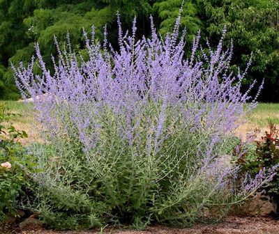 "Russian sage - prune to 6"" in spring. Smells great and people always ask me what it is!"