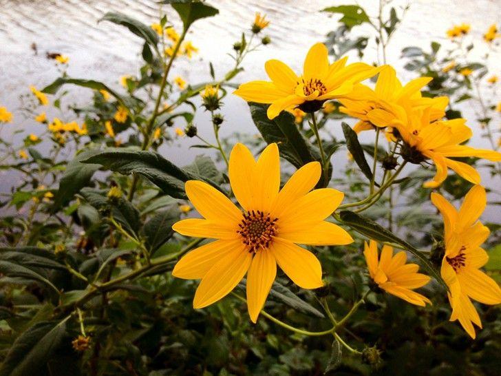 Erbe spontanee: il topinambur, l'ultimo fiore dell'estate, https://stargate2freedom.wordpress.com/