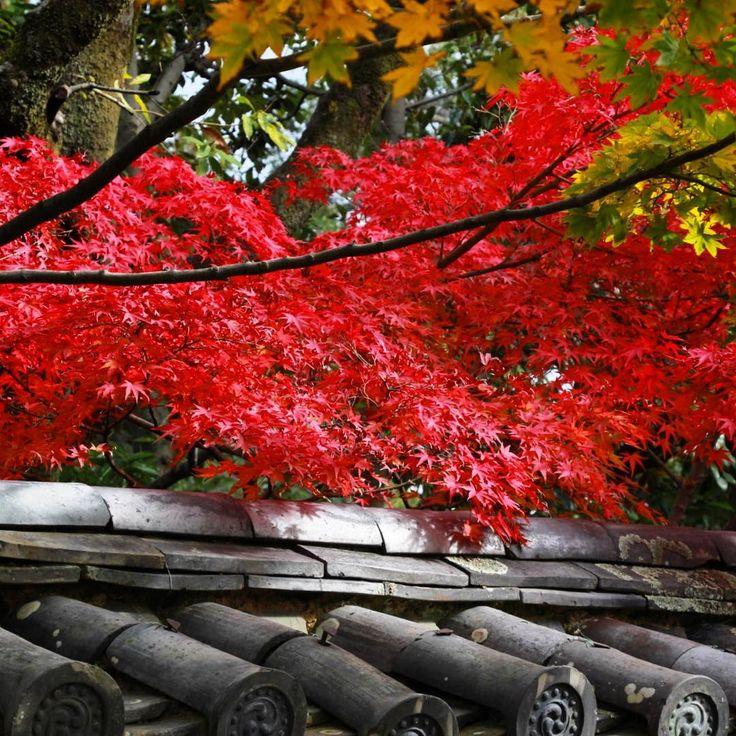京都 大徳寺 塔頭 芳春院🍁 おはです☺️✨ 参道脇の紅葉がキラリ🍁 ・ ・ #shinyの京都歩き🚶✨ ・ 2017/11/12📸✨ ・ ・ では京都へ行ってまいります🚗💨 ・ ・ #京都 #寺 #寺院 #社寺 #大徳寺 #塔頭 #芳春院 #庭 #庭園 #瓦 #秋 #紅葉 #もみじ #はなまっぷ #はなまっぷ紅葉2017 ・ #Kyoto #temple #garden #maple #autumn #japan #ig_japan #loves_united_japan #loves_united_places #loves_united_members #Loves_United_Life #loves_team_members #loves_united_flora #loves_united_kyoto