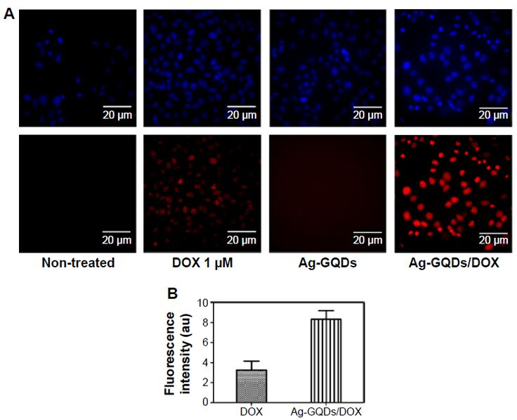 Figure 9 Observation of the cellular uptake and intracellular distribution of DOX delivered by Ag-GQDs nanocomposites.