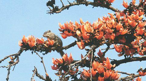 Indian Palash Tree Flowers | Flowering Trees: World ... Palash Flower Wallpaper