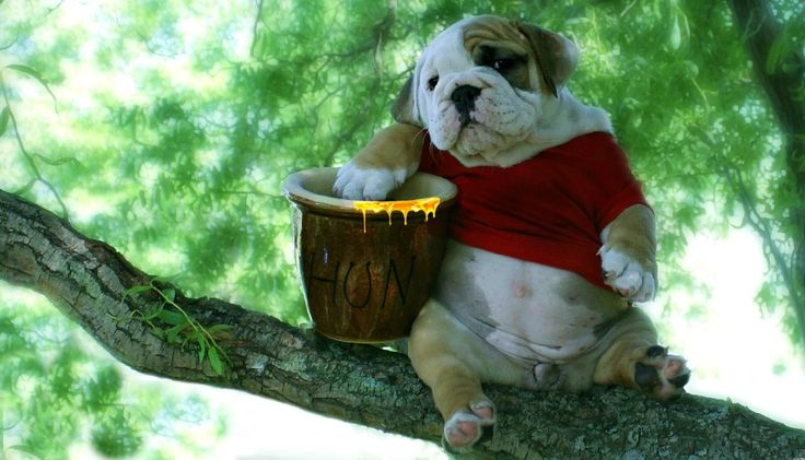 Winnie The... Bulldog? Click to see the full story of this Bully in his Pooh Bear costume.