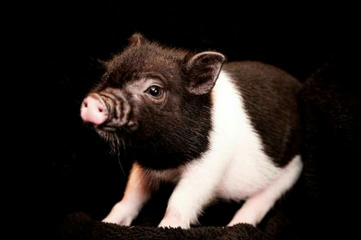 How cute is this little piggie???