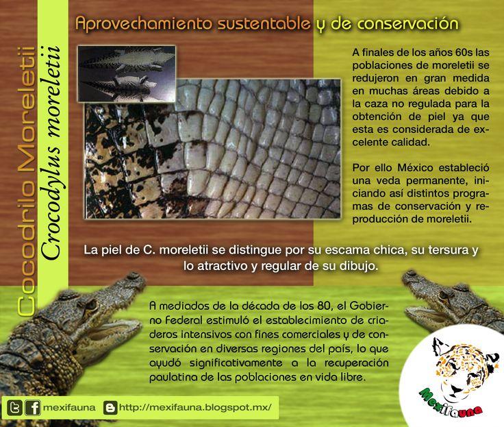 Cocodrilo Moreletii (Crocodylus moreletii): Aprovechamiento sustentable y conservación. PARA MAYOR INFORMACIÓN: http://mexifauna.blogspot.mx/2014/07/cocodrilo-moreletii-crocodylus-moreletii.html