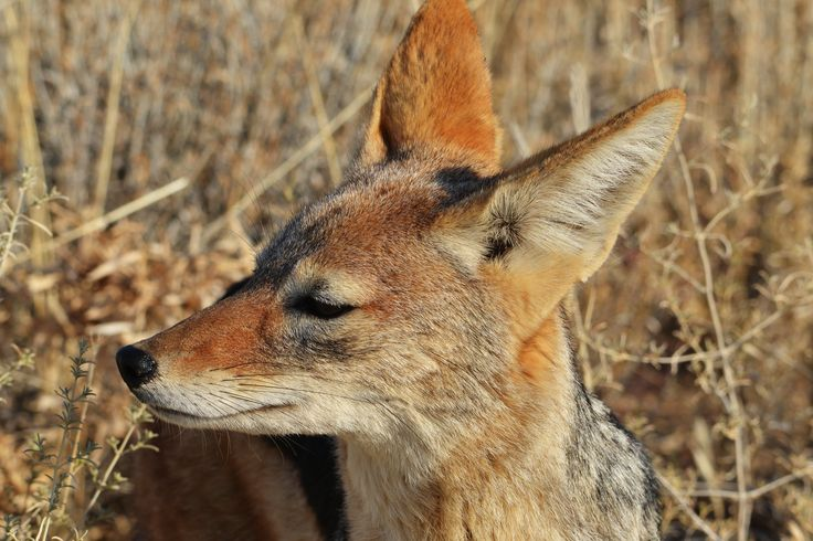 This Black-backed Jackal was very curious and came within a few feet of our car.