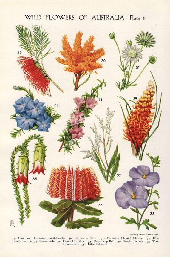 vintage Botanical flower print Australian Wild Flowers Banksia Bottlebrush Grevilea flower art illustration