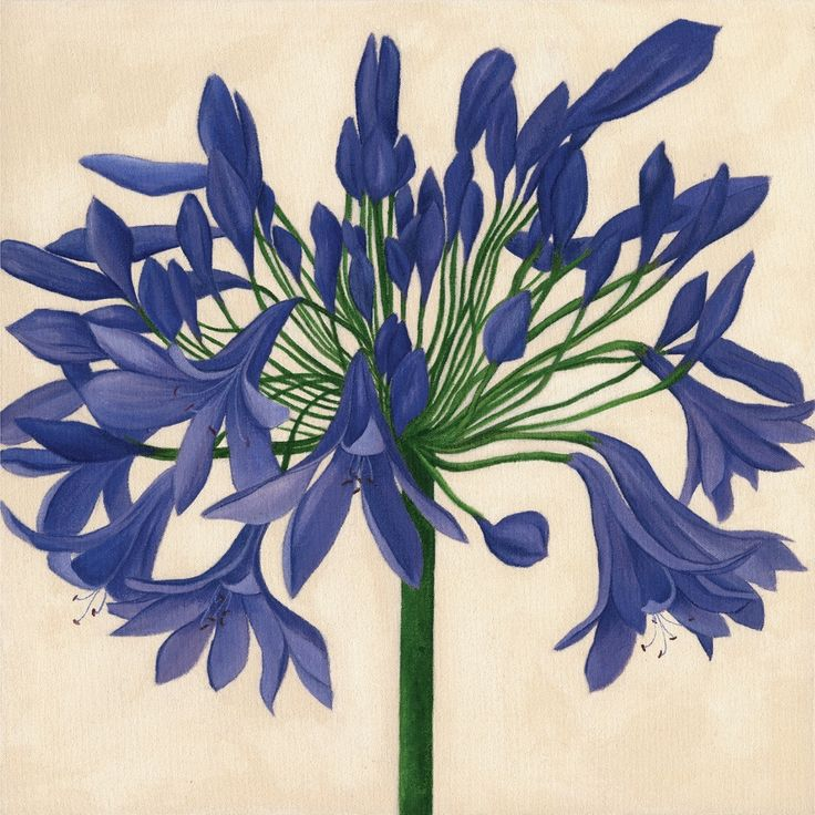 """Blue Agpanthus Jaci Hogan The Meaning of the Name The genus name, """"Agapanthus"""" is derived from two Greek words: """"agape."""" which means """"love,"""" and """"anthos,"""" which means """"flower"""". Taken together, the agapanthus is the flower of love. It is sometimes also known as """"African lily"""" and """"lily of the Nile,"""" tributes to its African origins."""