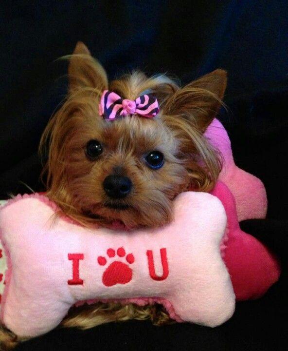 I Paw U--- love me some yorkies!!