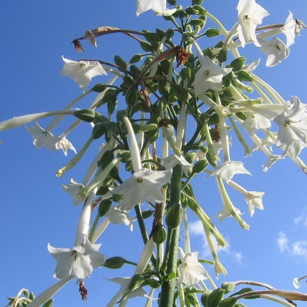 Tobak, Narcis- <i>Nicotiana sylvestris </i>