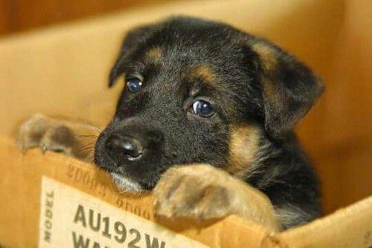 Cute little German Shepard