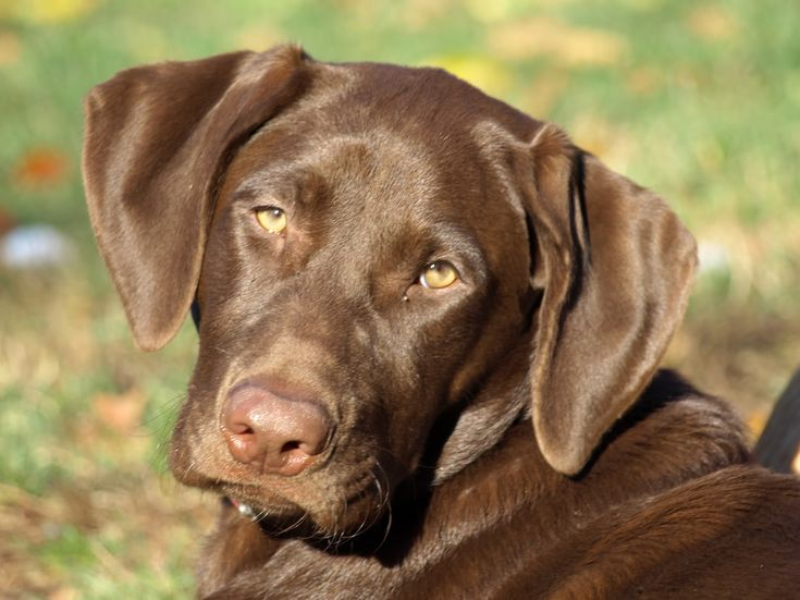 How to Make Your Labrador Retriever Happier picture