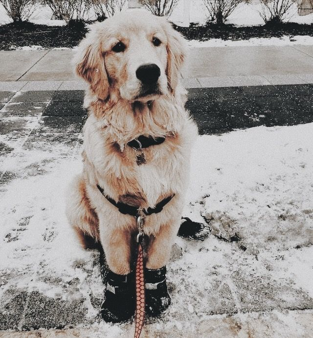 Cute Golden Retriever Puppy Dog Wearing Boots For A Walk In The