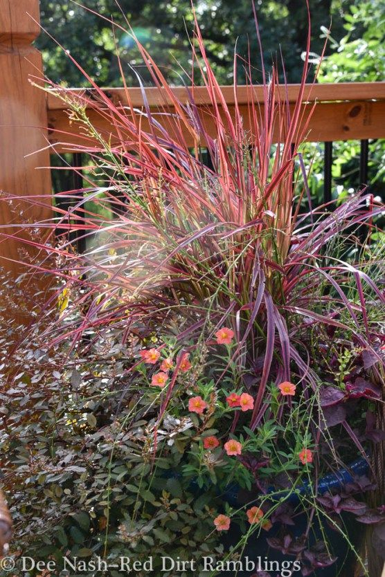 1000 images about garden grasses on pinterest gardens for Ornamental grass with purple plumes