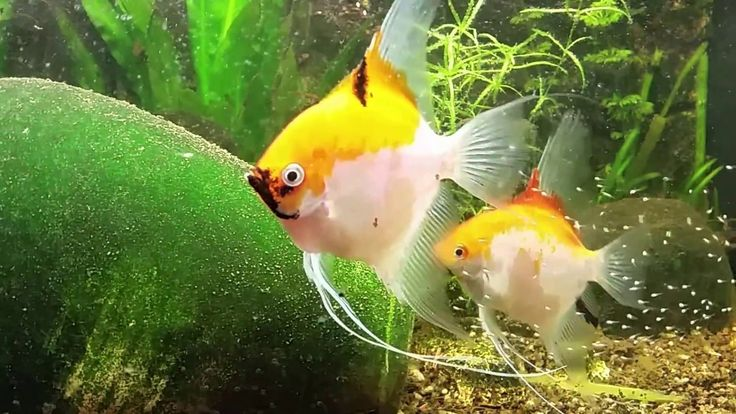 Maanvis hun 1e babys. Week 1. If you like to help me grow and support me. I put my paypal link in. Thanks in advance. paypal.me/greetje71 Blog: www.yoors.tk I have more playlisten. See link below. : Zoetwater aquariums 2018. https://www.youtube.com/playlist?list=PLaioYPT22CUDeZZrbA1AurwDse9qu2f6O Diy cement en beton gieten uit mallen stof knuffels etc. https://www.youtube.com/playlist?list=PLaioYPT22CUDKfcGOFa-edAAQRaCDumEl Discus Fish…