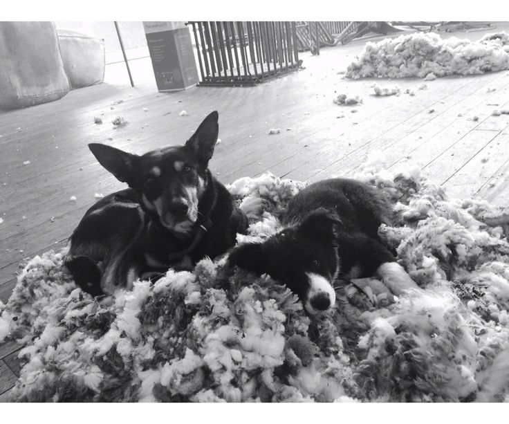 Kelpie and Border Collie Puppy - Shearing Shed