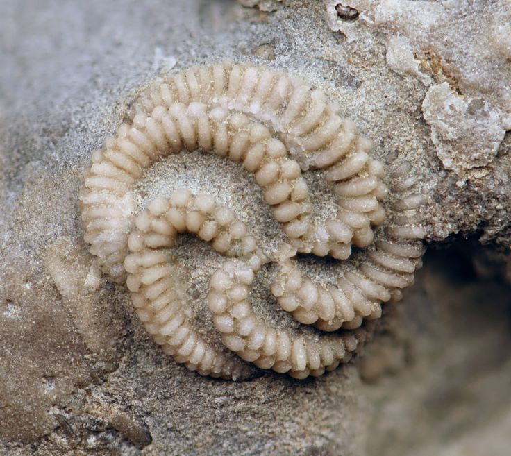 "The fossil comes from the Bellevue formation in Ohio. Image via Wiki Commons  This is Streptaster vorticellatus, a member of the Edrioasteroidea class. It lived ""only"" 450 million years ago, during a period called the Ordovician. The body plan for this class was simple: a main body (theca), composed of many small plates, a peripheral rim for attachment, and (in some species) a pedunculate zone for extension and retraction."